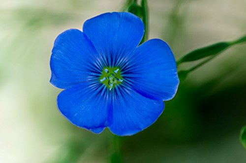 Flax Blue Nice Garden Flower by Seed Kingdom Bulk 30,000 Seeds