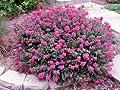 (1 gallon)'Pocomoke' Dwarf Crape Myrtle, Purple-Pink Flowers Unique Dwarf Shrub, also cold hardy crape myrtle