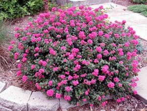 (1 gallon)'Pocomoke' Dwarf Crape Myrtle, Purple-Pink Flowers Unique Dwarf Shrub, also cold hardy crape myrtle 171068018867