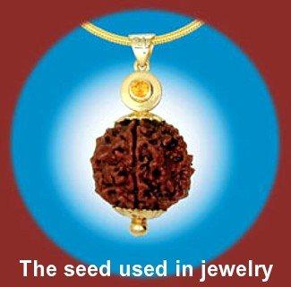 Seed-Rudraksha-Elaeocarpus-Tropical (Rudraksha Seed)