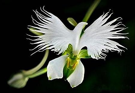 50 Samen Seltene Weisse Taube Orchidee White Dove Orchids Amazon