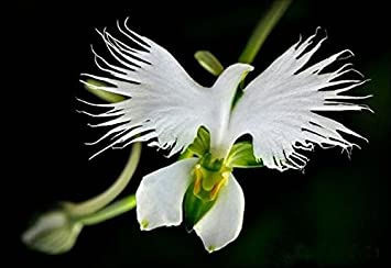 50 samen seltene weie taube orchidee white dove orchids amazon 50 samen seltene weie taube orchidee white dove orchids thecheapjerseys Choice Image