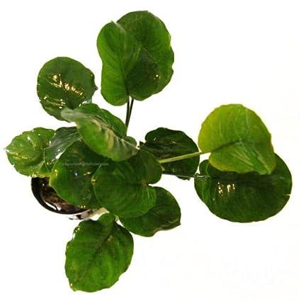 Amazon.com: 3 piezas de (alrededor de 6 hojas) Anubias ...