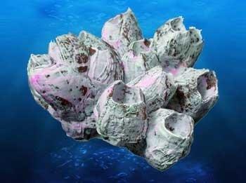 Coral Replica Barnacles 10x8x5