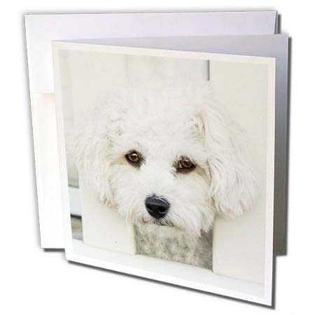 (3dRose RinaPiro - Dogs - Maltese. Small Breed Dog. Friendly Dog. White. - 1 Greeting Card with Envelope (gc_261457_5))