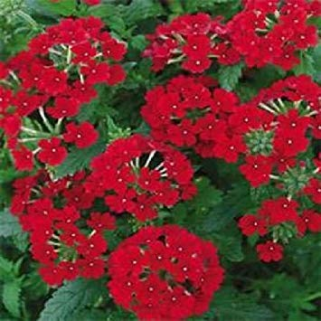 Homely Semi di Bonsai 100 PZ Rosso Verbena B87.5 Fiori da giardino annuali Venditore degli Stati Uniti