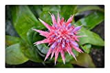 Tree26 Indoor Floor Rug/Mat (23.6 x 15.7 Inch) - Aechmea Fasciata Blossom Bloom Pink Plant Flower