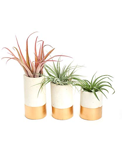 Shop Succulents | Classic Concrete Cylinder Planter Assorted Live Plants, Hand Selected Air Succulents | Collection of 3 Sizes (Gold), 3, Multi