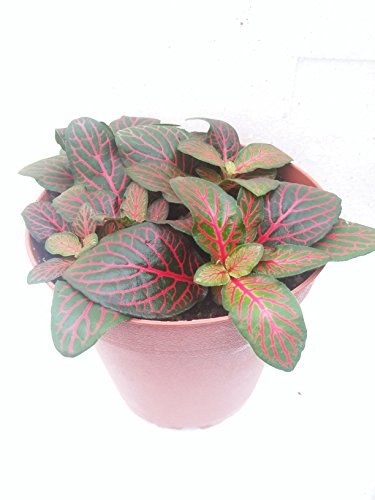 """Red Veined Nerve Plant - Fittonia - Easy House Plant - 4"""" Pot"""