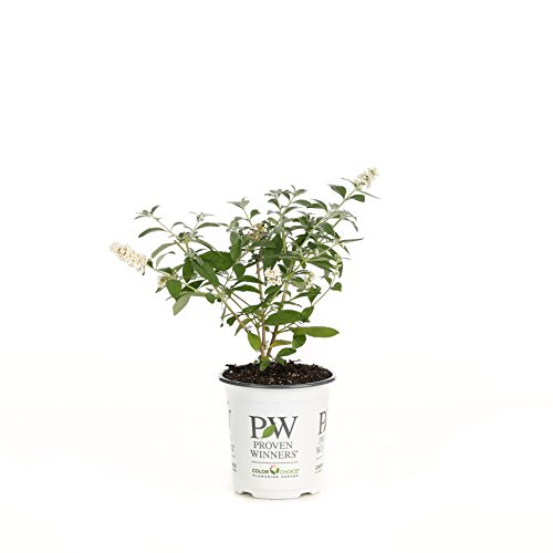 Miss Pearl Butterfly Bush (Buddleia) Live Shrub,WhiteFlowers, 4.5 in.Quart Early Start Greenhouse