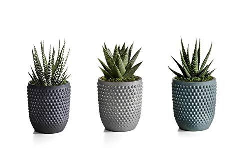 Live Succulents in Blue, Teal, and Grey Ceramic Containers Set of 3, From Hallmark Flowers by Hallmark Flowers (Image #5)