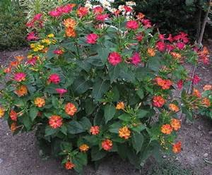 Amazon four oclock mirabilis jalapa mix red pink yellow amazon four oclock mirabilis jalapa mix red pink yellow white or striped these fragrant flowers open in the afternoon mightylinksfo