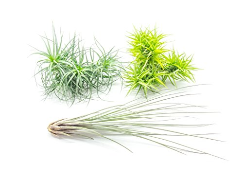 4 Extra Large Live Air Plants - Indoor Terrarium House Plants for Sale - Tillandsia for Home Décor and Wedding Centerpieces (Sale Garden For Glass Flowers)