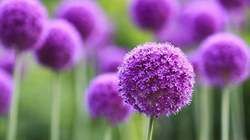 Giant Allium Giganteum Onion Flower Seeds, Dreamlike Purple Flower For Garden Spring Plant Decoration -50pcs (Purple)