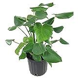 AMERICAN PLANT EXCHANGE Split Leaf Philodendron Monstera Deliciosa Live Plant 3 Gallon Indoor/Outdoor Fruit...