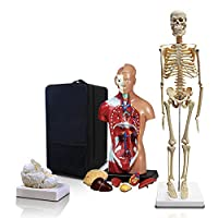 Parco Scientific PBM-B2 Elementary and High School Learning Package. Set of Three Human Anatomy Models, Skeleton, Torso and Brain with Carrying Case.