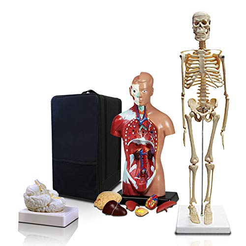Parco Scientific PBM-B2 Elementary and High School Learning Package. Set of Three Human Anatomy Models, Skeleton, Torso and Brain with Carrying Case. (Nervous System Model)