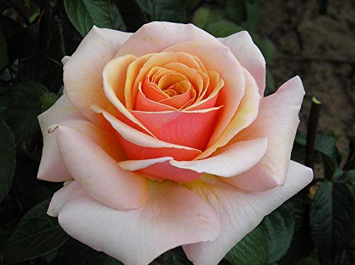 Sweet Revelation - Bareroot Hybrid Tea Garden Rose Bush - Outstanding Large Peachy Apricot Blooms on Tall Stems - Strong Fragrance