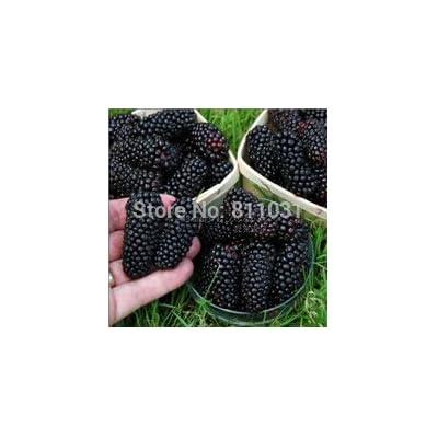 20 Seeds / Pack, Black Mulberry Seeds Morus Nigra Tree Garden Bush Seed DIY home garden : Garden & Outdoor