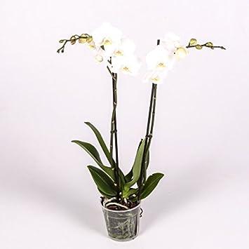 Orquídea Planta Natural - Phalaenopsis - Maceta 12cm. - Altura aprox. 60cm. - (Envíos sólo a Península): Amazon.es: Jardín