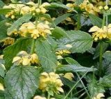 Classy Groundcovers, Lamiastrum galeobdolon 'Variegatum' Lamium galeobdolon (25 Pots, 3 1/2 inches Square)