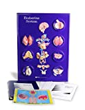 American Educational Endocrine System Model Activity Set