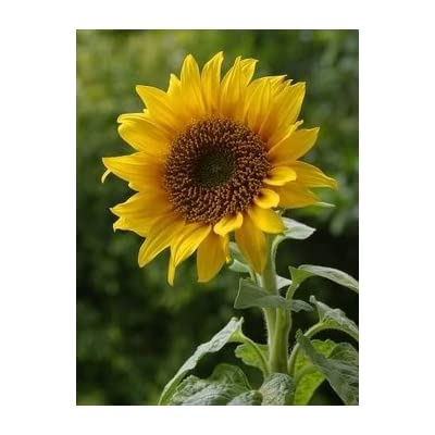 10 EARLY MAMMOTH RUSSIAN SUNFLOWER Helianthus Annuus Flower Seeds: Toys & Games