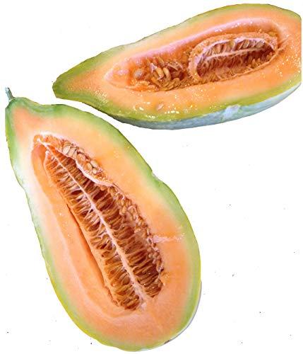 Banana Melon Squash Seeds, Exotic and Rare, 120+ Premium Seeds, Rare & Exotic Addition to Your Home Garden! (Isla's Garden Seeds), Cucumber Shape Melon/Gourd, Non GMO, 99.9% Purity, 85% Germination (Banana Melon Seeds)