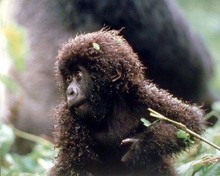 Baby Mountain Gorilla (TSlook 50x80 Blankets Funny Baby Mountain Gorilla Comfy Funny Bed Blanket)