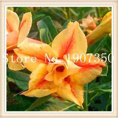 2 Pcs Obesum Bonsai Mix Mini Bonsai Desert Rose Flower Plant Bonsai for Indoor Plants Rainbow
