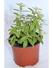 Hierba Luisa (Maceta 10,5 cm Ø) - Planta viva - Planta aromatica