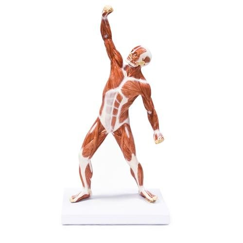 Walter Products B10437 Human Muscular Figure Model, 20