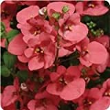 Diascia Diamonte Series Coral Rose 20 Seeds Garden