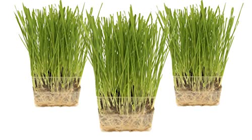 (Cat Grass Growing Kit - 3 Pack Organic Seed, Soil and BPA Free containers (Non GMO). All of Our Seed is Locally sourced for pet and pet Lovers.)