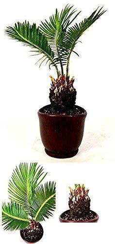 Japanese Sago Palm - 4.5