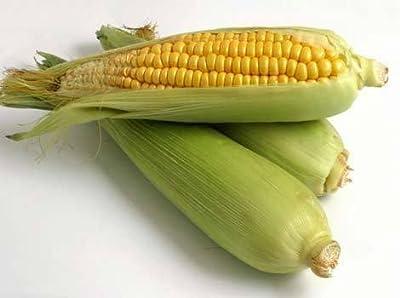 60 YELLOW CORN EARLY XTRA SWEET Zea Mays Vegetable Seeds