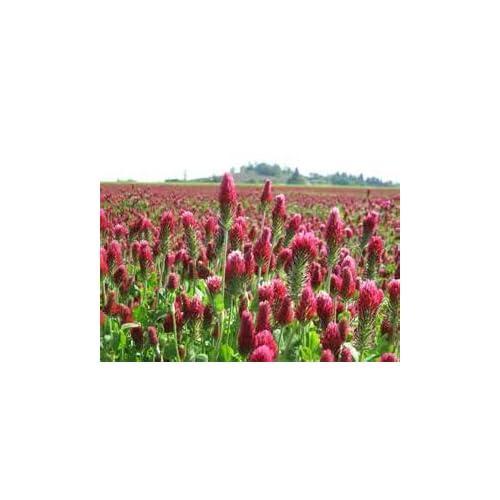 Top Crimson Clover Nice Garden Flower By Seed Kingdom BULK 30,000 Seeds hot sale