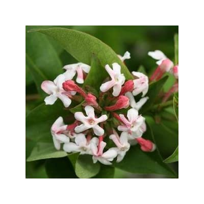 Abelia-Sweet-Emotion - QT Pot (Shrub) : Garden & Outdoor