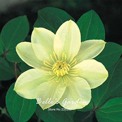 Clematis Seeds Flower Sesamy Seeds 30pcs/lot Beautiful Clematis Seed Clematis