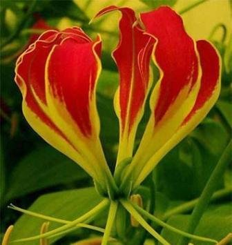 (2 Gloriosa Lily Bulbs: 1 Plantii Red+Yellwo & 1 Lutea Yellow~Flame lily, Rare)