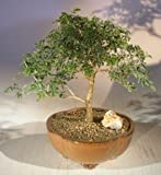 Bonsai Boy's Flowering Mimosa Bahamensis Bonsai Tree Mimosa bahamensis
