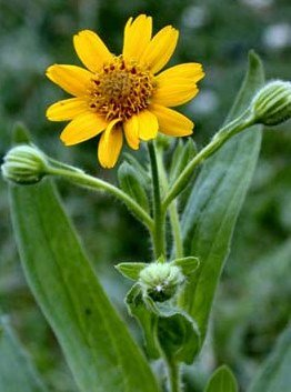 Arnica Flower ,Whole - Wildcrafted - Arnica montana (454g = One Pound) Brand: Herbies Herbs by Herbies Herbs