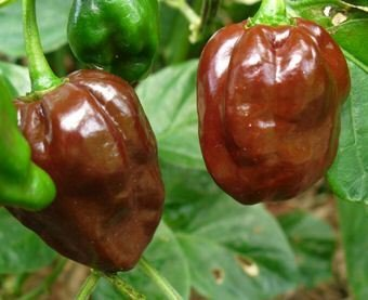 (Pepper HOT Chocolate Habanero Great Heirloom Vegetable 35 Seeds )