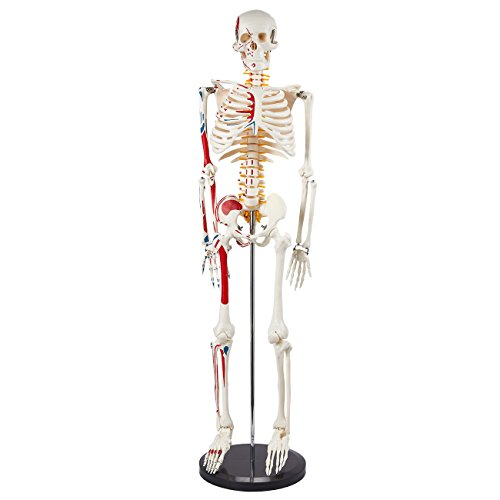 Human Skeleton Model - Muscular Painted Anatomical Skeleton for Science Education Classroom Use with Mounted Stand, Ivory, 8 x 33 x 3 Inches]()
