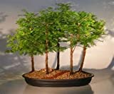 35 Seeds Dawn Redwood (Metasequoia glyptostroboides) #1 Bonsai Tree