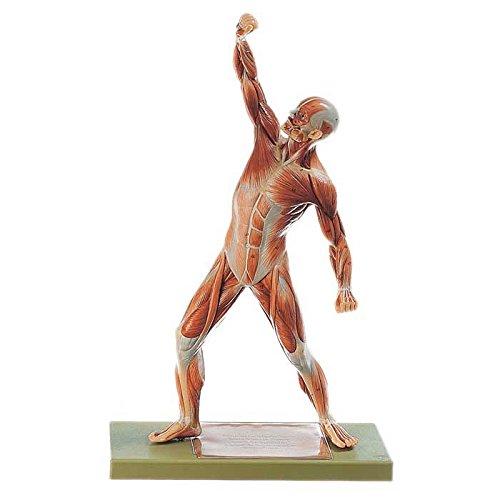 Male Muscular Figure