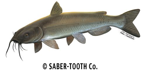 Best Review Of Saber-Tooth Co Channel Catfish Fish Decal Sticker ~ Fishing & Wildlife Series