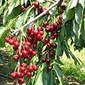 Bing Dwarf Cherry Tree, 2'-3' Tall Healthy Fruit Tree - 1 Each Plus Bonus