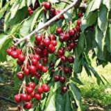 Bing Dwarf Cherry Tree, 2'-3' Tall Healthy Fruit Tree - 1 Each Plus Bonus