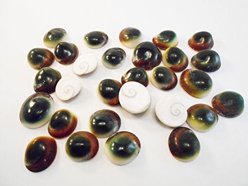 - Set of 50 Green Cat Eye Shells (Shiva Shells) Operculum - small: 1/2